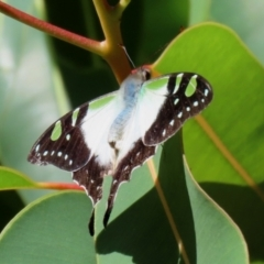 Graphium macleayanum (Macleay's Swallowtail) at ANBG - 14 Feb 2021 by RodDeb
