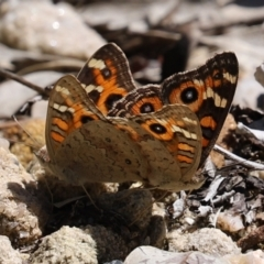 Junonia villida (Meadow Argus) at ANBG - 15 Feb 2021 by RodDeb
