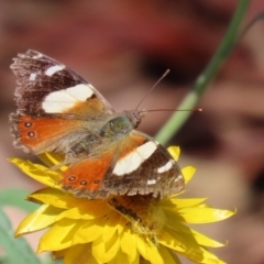 Vanessa itea (Yellow Admiral) at ANBG - 15 Feb 2021 by RodDeb