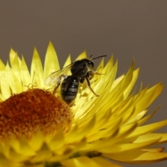 Lasioglossum (Chilalictus) sp. (genus & subgenus) (Halictid bee) at ANBG - 15 Feb 2021 by RodDeb