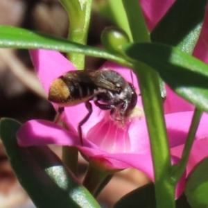 Megachile sp. (several subgenera) at ANBG - 15 Feb 2021