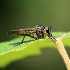 Zosteria rosevillensis (A robber fly) at ANBG - 15 Feb 2021 by RodDeb