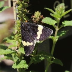 Eutrichopidia latinus (Yellow-banded Day-moth) at ANBG - 15 Feb 2021 by RodDeb