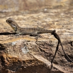 Intellagama lesueurii (Eastern Water Dragon) at ANBG - 15 Feb 2021 by RodDeb