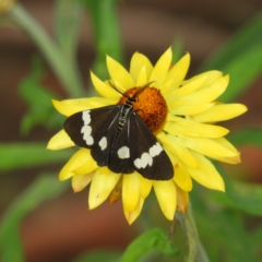 Nyctemera amicus (Senecio or Magpie moth) at ANBG - 10 Feb 2021 by MatthewFrawley