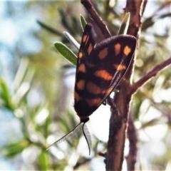 Asura lydia (Lydia Lichen Moth) at Tidbinbilla Nature Reserve - 15 Feb 2021 by JohnBundock