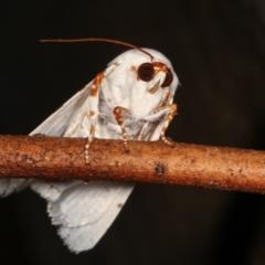 Chasmina pulchra (A Noctuid moth) at Melba, ACT - 15 Feb 2021 by kasiaaus