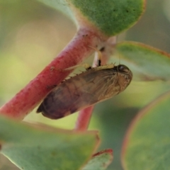 Neotartessus flavipes (A leafhopper) at Mount Painter - 13 Feb 2021 by CathB