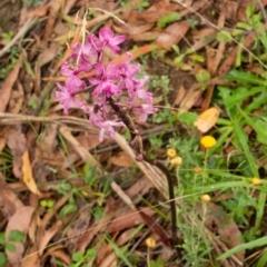 Dipodium roseum (Rosy hyacinth orchid) at Tallaganda State Forest - 16 Feb 2021 by SthTallagandaSurvey