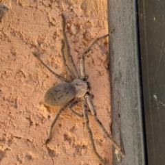 Isopeda sp. (genus) (Huntsman Spider) at Murrumbateman, NSW - 16 Feb 2021 by SimoneC