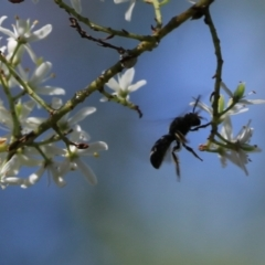 Unidentified Bee (Hymenoptera, Apiformes) (TBC) at Clyde Cameron Reserve - 16 Feb 2021 by Kyliegw