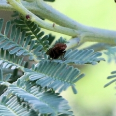 Unidentified True fly (Diptera) (TBC) at Wodonga - 16 Feb 2021 by Kyliegw