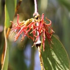 Amyema miquelii (Box Mistletoe) at Wodonga - 16 Feb 2021 by Kyliegw