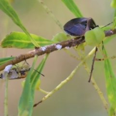 Monteithiella humeralis (Pittosporum shield bug) at Clyde Cameron Reserve - 16 Feb 2021 by Kyliegw