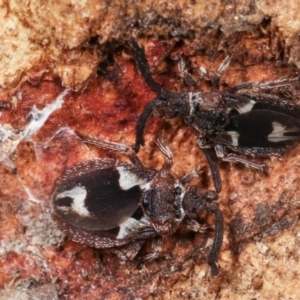 Aradellus cygnalis at Melba, ACT - 15 Feb 2021
