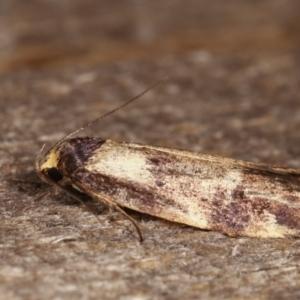 Palimmeces leucopelta at Melba, ACT - 15 Feb 2021
