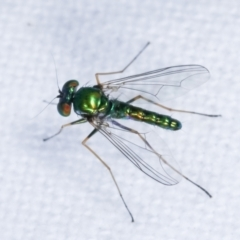 Dolichopodidae sp. (family) (Unidentified Long-legged fly) at Melba, ACT - 15 Feb 2021 by kasiaaus