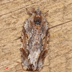 Unidentified Tortricid moth (Tortricidae) (TBC) at Melba, ACT - 15 Feb 2021 by kasiaaus