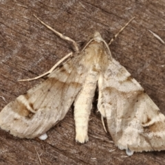 Syneora hemeropa (Ring-tipped Bark Moth) at Melba, ACT - 15 Feb 2021 by kasiaaus