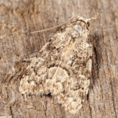 Unidentified Moth (Lepidoptera) (TBC) at Melba, ACT - 15 Feb 2021 by kasiaaus