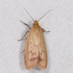 Heteroteucha occidua (A concealer moth) at Melba, ACT - 15 Feb 2021 by kasiaaus