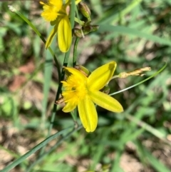 Tricoryne elatior (Yellow Rush Lily) at Murrumbateman, NSW - 14 Feb 2021 by SimoneC
