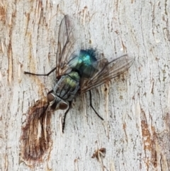 Chlorotachina sp. (genus) (A bristle fly) at City Renewal Authority Area - 16 Feb 2021 by tpreston