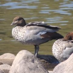 Chenonetta jubata (Australian Wood Duck) at Cotter Reserve - 20 Jan 2021 by michaelb