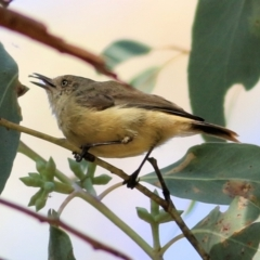 Acanthiza reguloides (Buff-rumped Thornbill) at Wodonga - 16 Feb 2021 by Kyliegw
