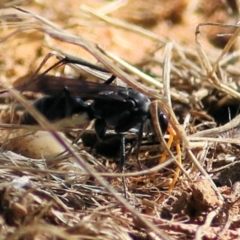 Unidentified Spider wasp (Pompilidae) (TBC) at Wodonga - 16 Feb 2021 by Kyliegw