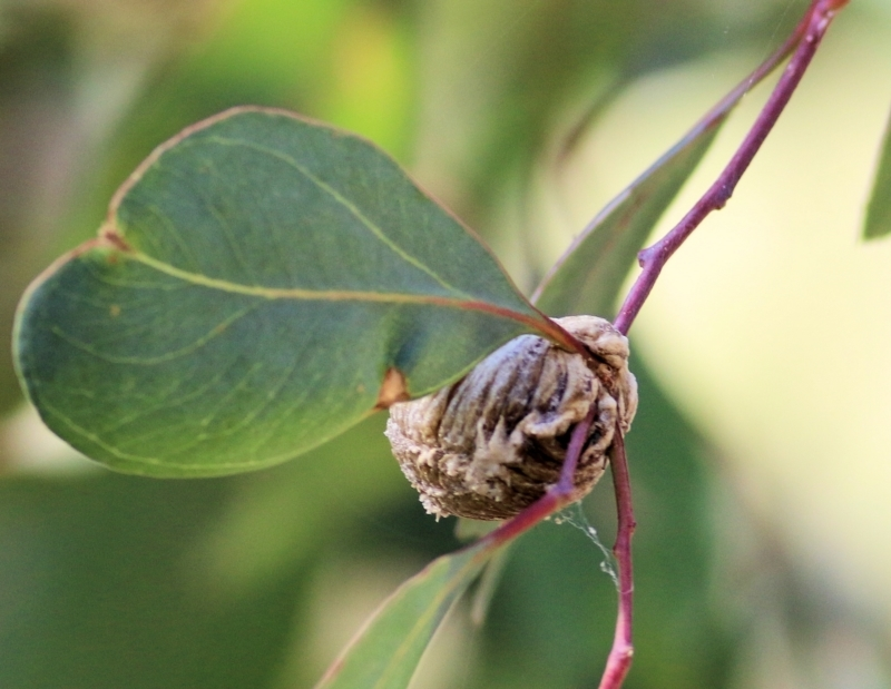 Mantidae sp. (family) at Wodonga - 17 Feb 2021