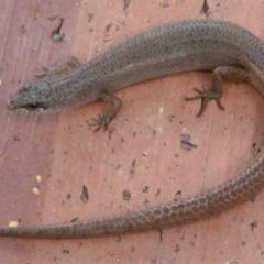 Saproscincus mustelinus (Weasel Skink) at Waramanga, ACT - 17 Feb 2021 by DavidMcKay