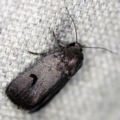 Thoracolopha undescribed species MoV6 at O'Connor, ACT - 16 Feb 2021 by ibaird