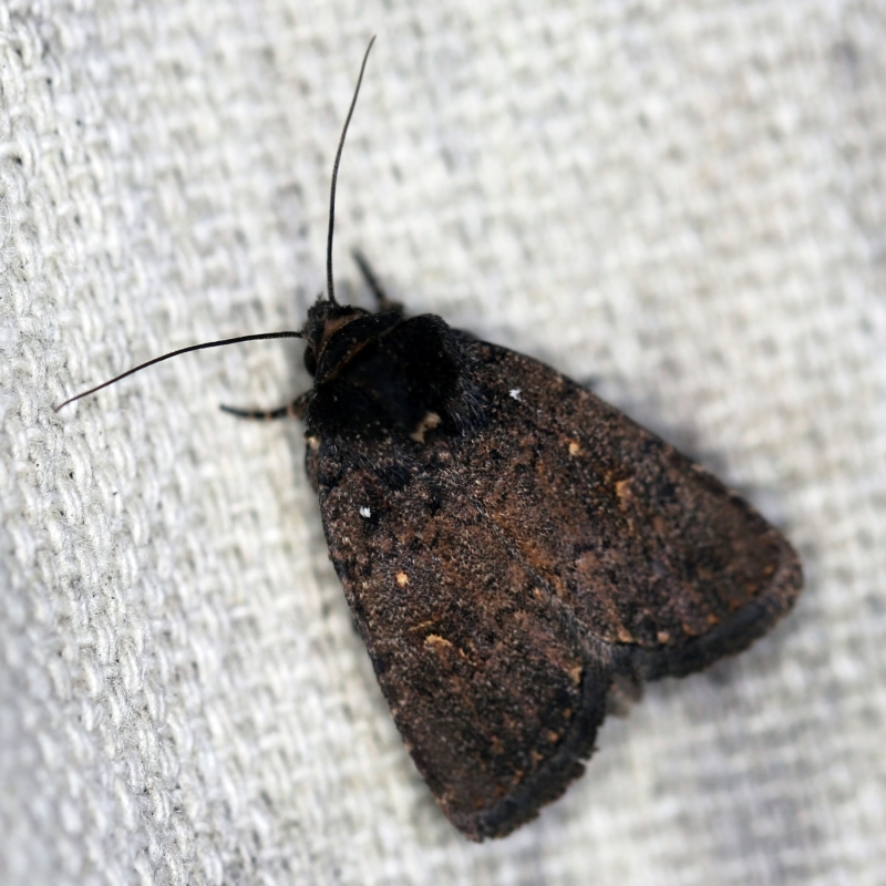 Proteuxoa provisional species 1 at O'Connor, ACT - 16 Feb 2021