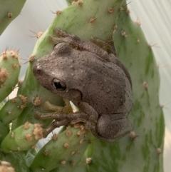 Litoria peronii (Peron's Tree-frog) at Murrumbateman, NSW - 17 Feb 2021 by SimoneC