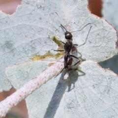 Camponotus aeneopilosus at Crace Grasslands - 17 Feb 2021