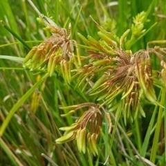 Cyperus eragrostis (Umbrella Sedge) at Crace Grasslands - 17 Feb 2021 by tpreston