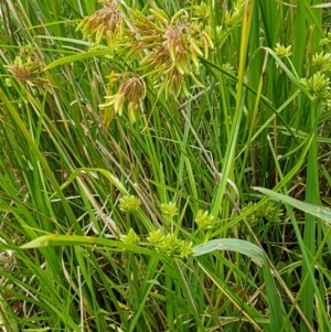 Cyperus eragrostis at Crace Grasslands - 17 Feb 2021