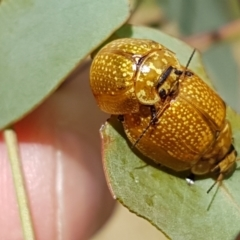 Paropsisterna variicollis (Eucalyptus variegated beetle) at Crace Grasslands - 17 Feb 2021 by tpreston