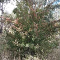 Crataegus monogyna at Crace Grasslands - 17 Feb 2021