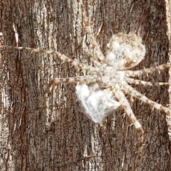 Tamopsis sp. (genus) (Two-tailed spider) at Crace Grasslands - 17 Feb 2021 by tpreston