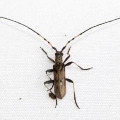 Didymocantha obliqua (Longhorn or longicorn beetle) at Higgins, ACT - 17 Feb 2021 by AlisonMilton