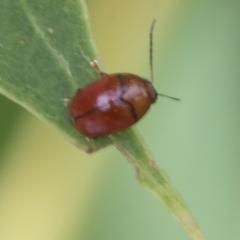 Ditropidus sp. (genus) (Leaf beetle) at Fyshwick, ACT - 10 Feb 2021 by AlisonMilton