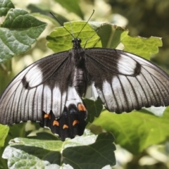 Papilio aegeus (Orchard Swallowtail) at Higgins, ACT - 15 Feb 2021 by AlisonMilton