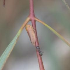 Ipoella sp. (genus) (TBC) at Fyshwick, ACT - 10 Feb 2021 by AlisonMilton