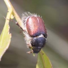 Liparetrus sp. (genus) (Chafer) at Fyshwick, ACT - 10 Feb 2021 by AlisonMilton