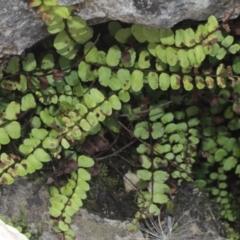 Asplenium trichomanes (Common spleenwort) at Kosciuszko National Park - 7 Feb 2021 by alex_watt