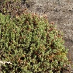 Pimelea linifolia (Slender Rice Flower) at Kosciuszko National Park - 7 Feb 2021 by alex_watt
