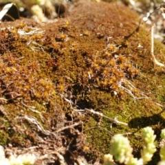Polytrichum (TBC) at Kosciuszko National Park - 7 Feb 2021 by alex_watt