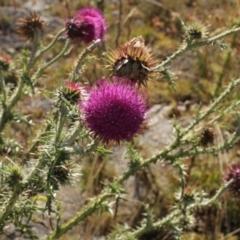 Carduus nutans (Nodding Thistle) at Kosciuszko National Park - 7 Feb 2021 by alex_watt